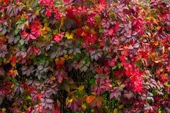 Pianta con le foglie di rosso su una parete Fotografie Stock