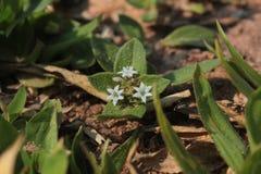 Pianta con quattro piccoli fiori immagini stock libere da diritti