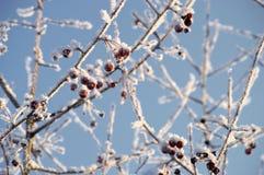 Pianta congelata della bacca Fotografie Stock