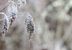Pianta congelata secca all'estremità di un ramoscello coperto in rugiada gelida immagini stock libere da diritti