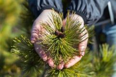 Pianta conifera nelle palme dell'uomo fotografia stock libera da diritti