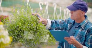 Pianta conservata in vaso d'esame del fiore del giardiniere maschio sicuro di agricoltura video d archivio