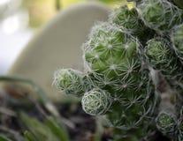 Pianta conservata in vaso del cactus Immagini Stock Libere da Diritti