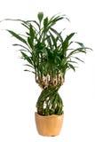 Pianta conservata in vaso di bambù Fotografia Stock Libera da Diritti