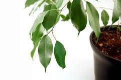 Pianta conservata in vaso verde Immagini Stock
