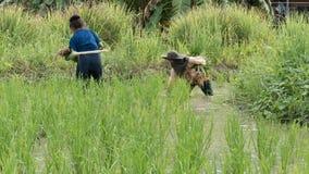 pianta crescente dell'agricoltore, riso di trapianto nella risaia del terreno coltivabile Immagini Stock Libere da Diritti