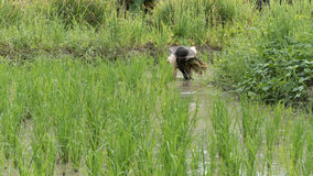 pianta crescente dell'agricoltore, riso di trapianto nella risaia del terreno coltivabile Immagine Stock Libera da Diritti