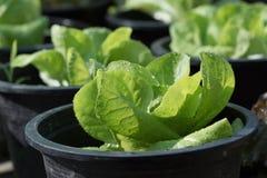 Pianta crescente dell'insalata Fotografia Stock Libera da Diritti