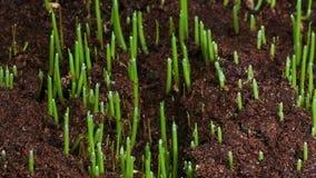 Pianta crescente 4k dell'erba verde video d archivio