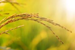 Pianta cruda di agricoltura del flield del riso Immagini Stock