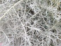 Pianta d'argento nel giardino di estate Immagine Stock Libera da Diritti