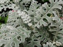 Pianta d'argento nel giardino di estate Fotografia Stock