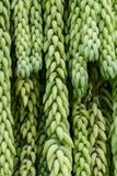 Pianta d'attaccatura del succulente della coda del ` s del Burro fotografie stock libere da diritti
