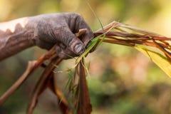 Pianta d'esame del cardamomo dell'agricoltore Fotografie Stock Libere da Diritti