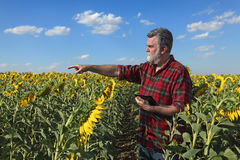 Pianta d'esame e gesturing del girasole dell'agricoltore Fotografia Stock Libera da Diritti