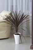 Pianta da appartamento decorativa in un vaso. Fotografie Stock Libere da Diritti