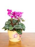 Pianta da appartamento di ciclamino in vaso Colore rosa Priorità bassa bianca Fotografia Stock Libera da Diritti