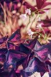Pianta da appartamento di fioritura Immagini Stock