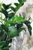 Pianta da appartamento in un vaso Fine della pianta verde su fotografia stock