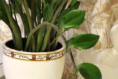 Pianta da appartamento in un vaso Fine della pianta verde su fotografia stock libera da diritti