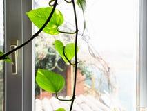 Pianta da appartamento verde dell'edera della foglia e vista del cortile immagine stock libera da diritti