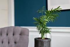 Pianta da appartamento verde nella priorità alta interno blu lussuoso Una stanza spaziosa con il supporto di legno di DIY per i f Immagine Stock Libera da Diritti