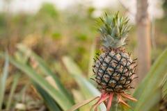 Pianta da frutto dell'ananas Immagini Stock