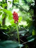 Pianta da frutto rossa isolata nella foresta verde Fotografia Stock Libera da Diritti