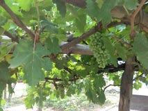 Pianta da frutto verde dell'uva con i fiori fotografie stock