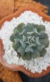 Pianta da vaso cubica del succulente del gelo di Echeveria Fotografia Stock Libera da Diritti