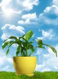 Pianta decorativa verde che si leva in piedi sull'erba Fotografia Stock