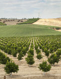 Pianta degli alberi arancioni del Yang Fotografie Stock Libere da Diritti