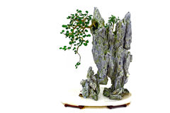 Pianta dei bonsai di ficus microcarpa Immagini Stock