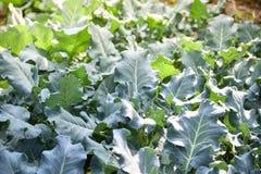 Pianta dei broccoli dell'azienda agricola Fotografie Stock