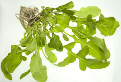 Pianta del Arugula (Eruca sativa) Fotografia Stock