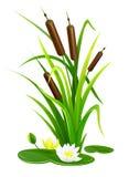 Pianta del boschetto di Reed cespuglio con le foglie verdi Immagini Stock Libere da Diritti
