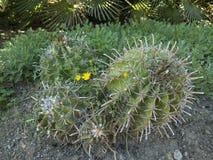 Pianta del cactus Fotografia Stock Libera da Diritti