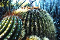 Pianta del cactus Immagini Stock Libere da Diritti