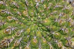 Pianta del cactus Immagini Stock