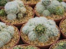 Pianta del cactus Fotografie Stock Libere da Diritti