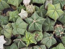 Pianta del cactus (Astrophytum) Immagine Stock
