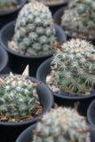 Pianta del cactus che può servire da contesto, contenuta una serra Immagine Stock Libera da Diritti
