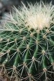 Pianta del cactus che può servire da contesto, contenuta una serra Immagine Stock