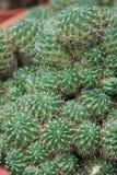 Pianta del cactus che può servire da contesto, contenuta una serra Immagini Stock
