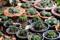 Pianta del cactus con i fichi d'India in giardino a casa fotografia stock libera da diritti