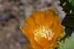 Pianta del cactus con il fiore Fotografia Stock Libera da Diritti