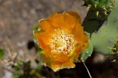 Pianta del cactus con il fiore Immagini Stock