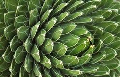 Pianta del cactus del fondo Fotografia Stock Libera da Diritti
