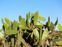 Pianta del cactus del Nopal di Chumbera Immagini Stock Libere da Diritti