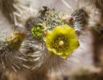 Pianta del cactus di barilotto nel deserto di Anza Borrego Immagini Stock